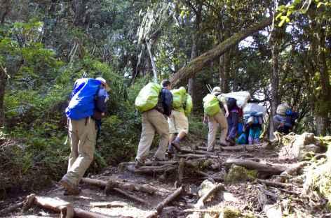 Montée à Machame Hut, dans la forêt luxuriante, Kilimanjaro - Tanzanie -