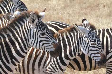 Zèbres, caldeira du Ngorongoro - Tanzanie -