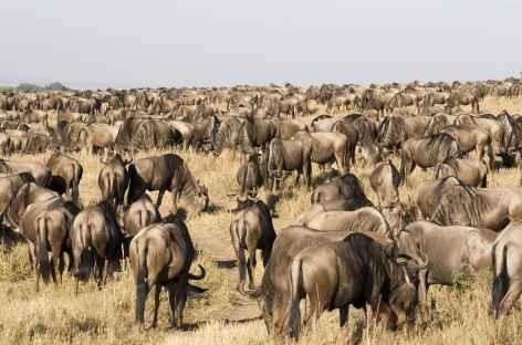 Troupeau de gnous, Parc national du Serengeti - Tanzanie -