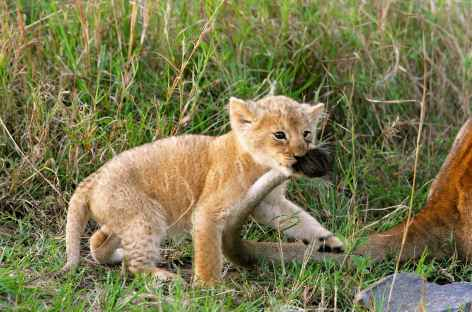 Jeune lionceau - Tanzanie -