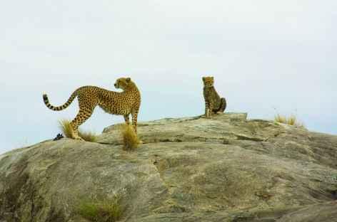 Guépards sur un kopje du Serengeti - Tanzanie -