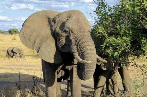 Eléphants dans le parc du Serengeti - Tanzanie -