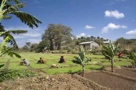 Plantations vers le lac Eyasi - Tanzanie -