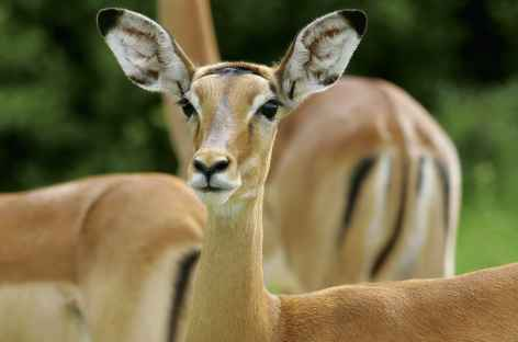 Impalas - Tanzanie -