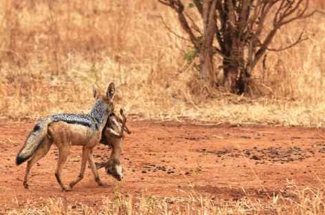 Chacal à chabraque - Tanzanie -