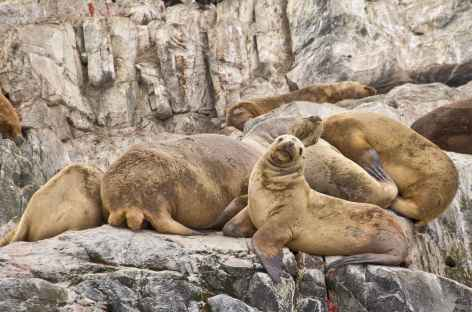 Observation des lions de mer lors de la navigation sur le canal de Beagle - Argentine -