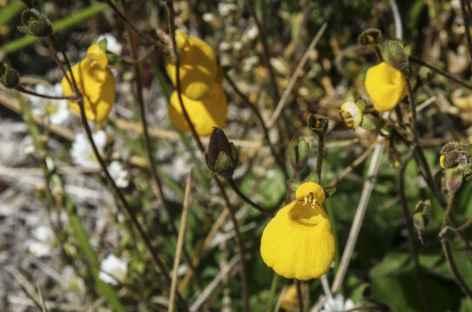Fleur de Patagonie -
