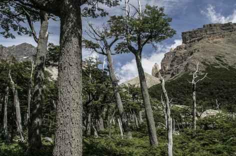 Parc national Torres del Paine, dans les forêts de forêts de lengas et ñirres - Chili -