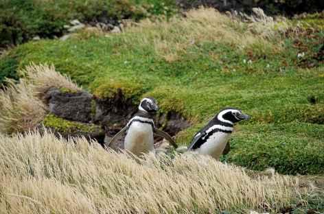Manchots de Magellan dans la réserve d'Otway - Chili -