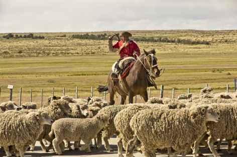 Gaucho rassemblant son troupeau de moutons dans la pampa argentine - Patagonie - Argentine  -