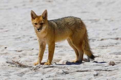 Un renard dans la Puna - Argentine -