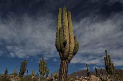 Cactus candélabre - Argentine -