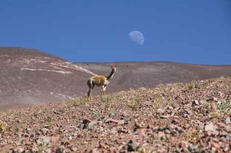 Vigogne dans la Puna - Argentine -