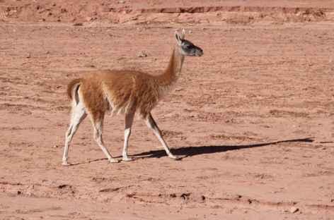 Argentine, vigogne dans le Parc National de Talampaya -