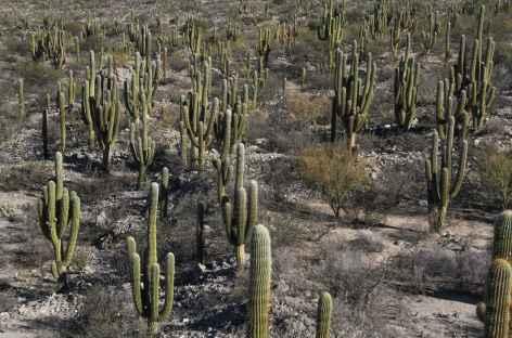 Argentine, cactus candélabres sur le site archéologique de Quilmes -