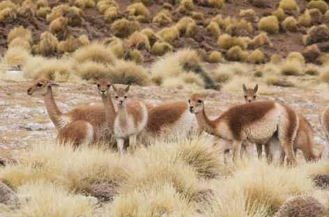 Argentine, vigognes dans la Puna -