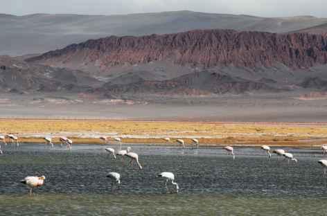 Argentine, flamants rose sur la lagune Carachi dans la Puna -