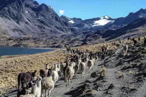 Cordillère Royale, marche avec les alpagas - Bolivie -