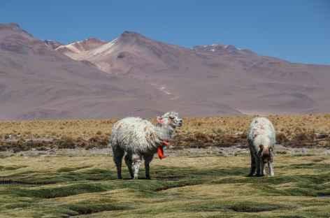 Des alpagas dans le Sud Lipez - Bolivie -