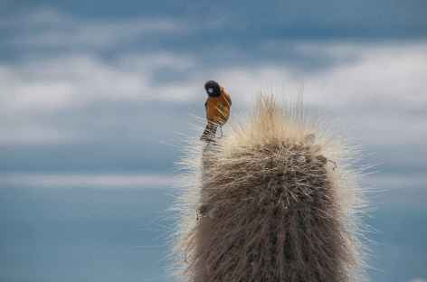 Cactus candélabre du Salar d'Uyuni - Bolivie -