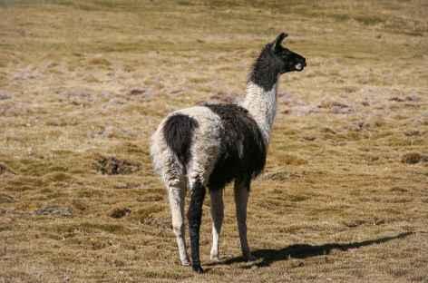 Cordillère Royale, un lama solitaire - Bolivie -