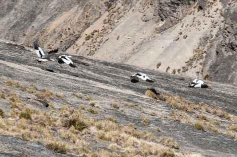 Cordillère Royale, un vol de Huallatas  - Bolivie -