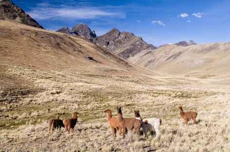 Cordillère Royale, un troupeau de lamas au pâturage - Bolivie -