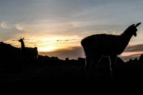 Lamas au coucher du soleil - Bolivie -