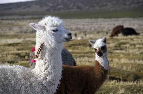 Cordillère Royale, troupeau d'alpagas - Bolivie -