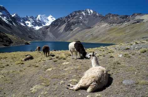 Cordillère Royale, alpagas paressant sur les bords de la lagune jurikhota - Bolivie -