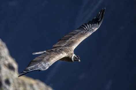 Condor des Andes - Bolivie -