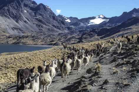 Un troupeau d'alapagas est mené au pâturage -