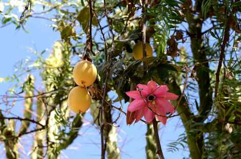Fleur de tumbo - Bolivie -