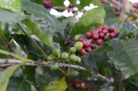 Grains de café dans l'exploitation de San Juancito - Bolivie -