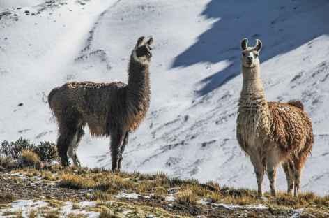 Rencontre avec des lamas - Bolivie -