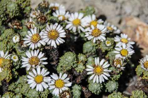 Fleurs d'altitude - Bolivie -