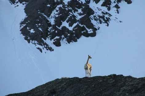 Une vigogne nous observe - Bolivie -