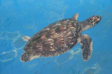 Praia do Forte, tortue du projet Tamar - Brésil -