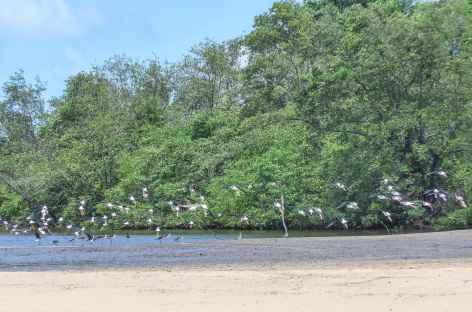 Echassiers au bord du rio Preguiças - Brésil -