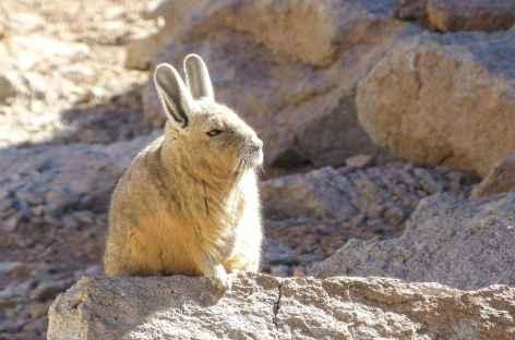 Viscaches - Bolivie -
