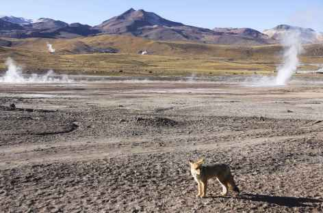 Renard et fumerolles del Tatio - Atacama - Chili -