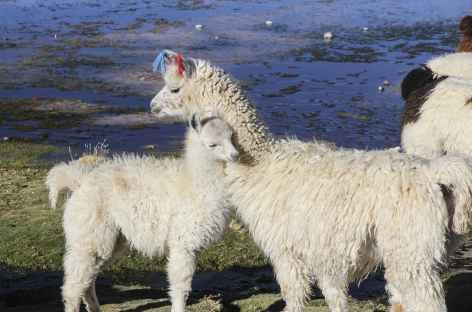 Lamas - Bolivie -