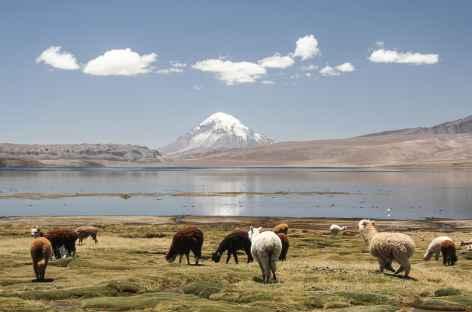 Troupeau d'alpagas au bord du lac Chungara - Chili -