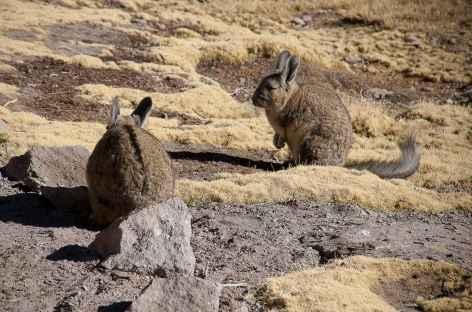 Rencontre avec des viscaches - Chili -
