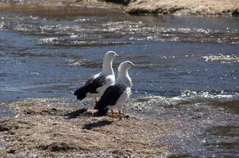 Oies des Andes - Bolivie -