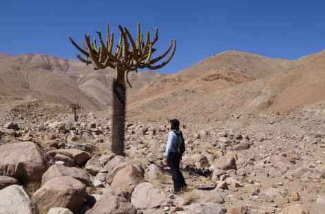Cactus Candélabre Chili -