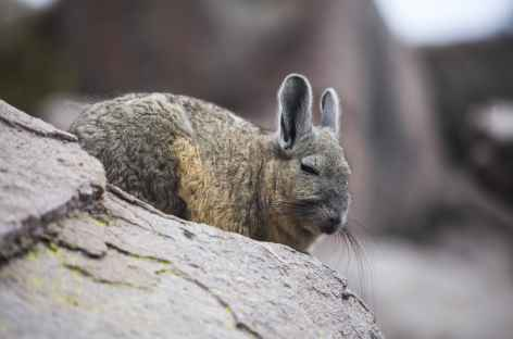 Viscachas -