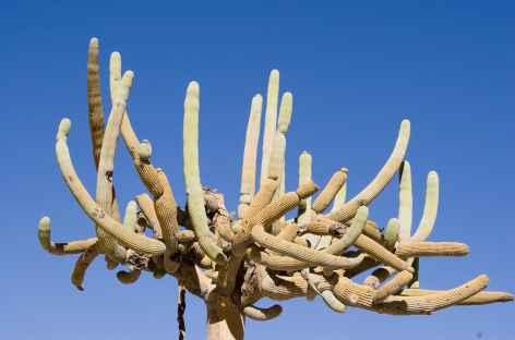 Cactus candelabre Azapa - Chili -