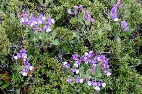 Fleurs de Patagonie - Chili -