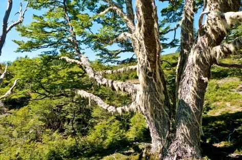 De sacrés arbres autour de notre lodge - Chili -